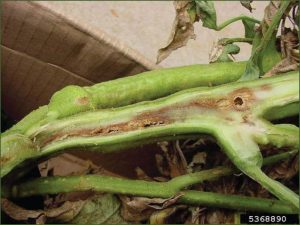 Bacterial wilt and canker symptoms in tomato.
