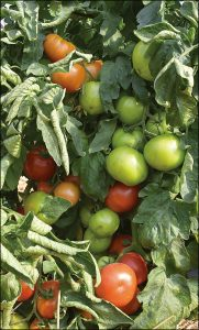 Bigdena Tomatoes